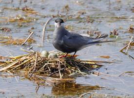 一組水面筑巢須浮鷗圖片欣賞