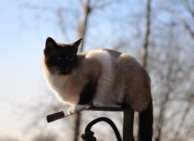 贪玩警觉的暹罗猫