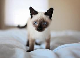 一組乖巧可愛的泰國貓咪圖片