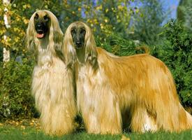一组活泼的阿富汗猎犬图片欣赏