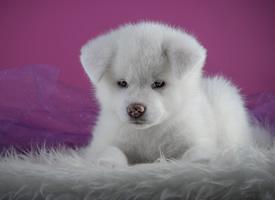 一组可爱呆萌的秋田犬图片欣赏