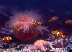漂亮的小丑鱼壁纸图片
