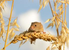 一组小巧玲珑机灵的老鼠图片欣赏