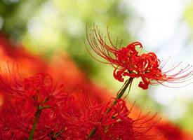 火紅艷麗的彼岸花圖片欣賞