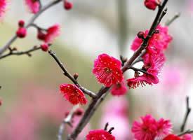 一组花色艳丽的红梅花图片欣赏