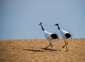一组两只丹顶鹤玩耍的图片