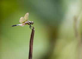 一只蜻蜓立枝頭圖片欣賞