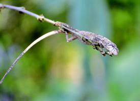 樹枝上的一只小蜥蜴圖片大全