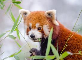 棕色毛的萌寵小熊貓圖片欣賞