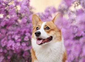 一組紫色小花花中的小狗狗圖片