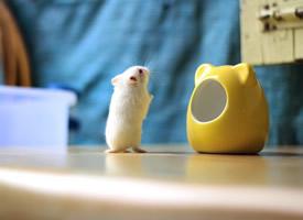 一組活潑可愛、目光炯炯的小倉鼠