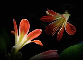 神秘而含蓄的君子兰花高清图片