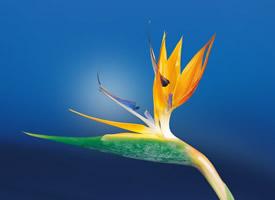 一组高贵优雅的鹤望兰图片