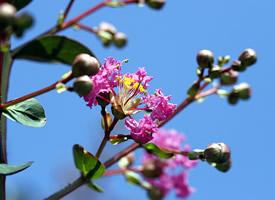 一組簡潔漂亮的紫薇花開圖片欣賞