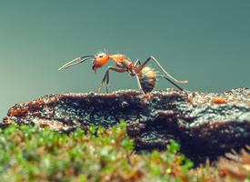 一组小蚂蚁真实图片大全