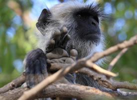 一級保護動物長尾葉猴圖片