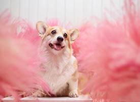 一組粉粉嫩嫩開心的小柯基圖片欣賞