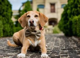 一组温顺聪明的拉布拉多狗狗图片