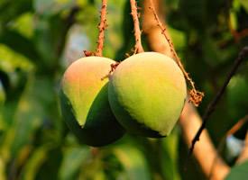 掛在書樹上未成熟的廣東芒果圖片