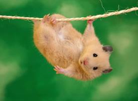 一組憨態可掬、 活潑可愛的倉鼠