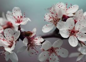 唯美浪漫的櫻花桌面壁紙