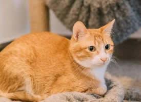 可爱的橘色中华田园猫图片