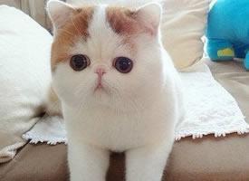 可爱卖萌加菲猫