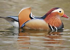 羽毛特別艷麗的公鴛鴦圖片