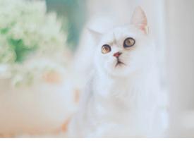 慵懶可愛的白色小貓咪圖片