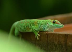 令人畏懼的綠色蜥蜴高清圖片欣賞