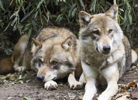 兇惡殘忍的野狼圖片欣賞
