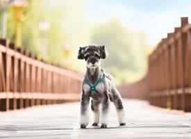 一组蹦蹦跳跳的雪纳瑞狗狗图片
