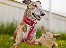 一组温和而柔顺的惠比特犬图片