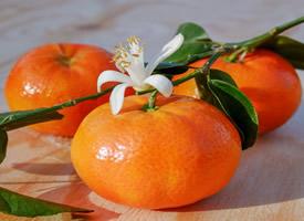 世界柑橘始祖地黃巖柑橘圖片