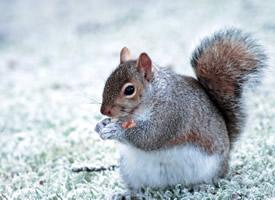 冬天里歡快玩雪的小松鼠圖片