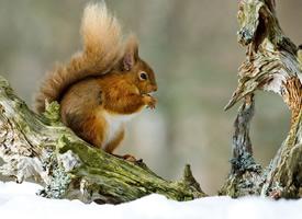 樹上到處竄的小松鼠圖片欣賞