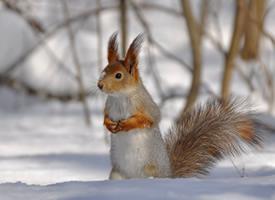 在雪地里呆呆的小松鼠圖片欣賞