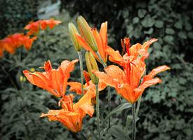 雨中橙色百合花唯美图片欣赏