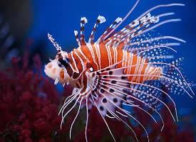 色彩鲜艳的狮子鱼图片