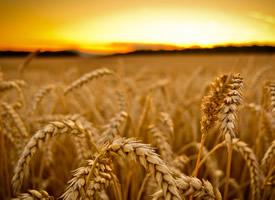 金色的小麥風景圖片電腦壁紙