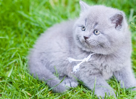 可爱宠物加菲猫