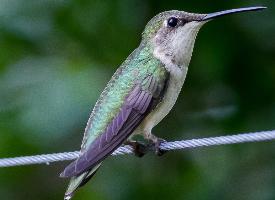 世界上最小的鳥類蜂鳥高清圖片