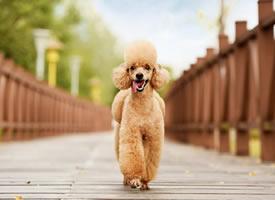 一組開心到飛起的泰迪狗狗圖片