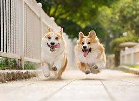 一組可愛的兩只柯基狗狗圖片