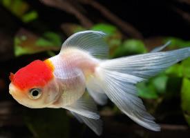 水族箱里的漂亮金魚