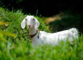 非常可爱的小山羊图片欣赏