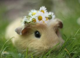 一组可爱机灵的小豚鼠图片欣赏