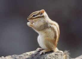 在石頭上玩耍的小松鼠圖片欣賞