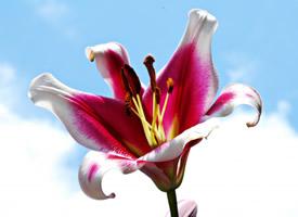 朴素淡雅的百合花图片欣赏
