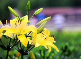 有哪些漂亮的高清百合花图片大全
